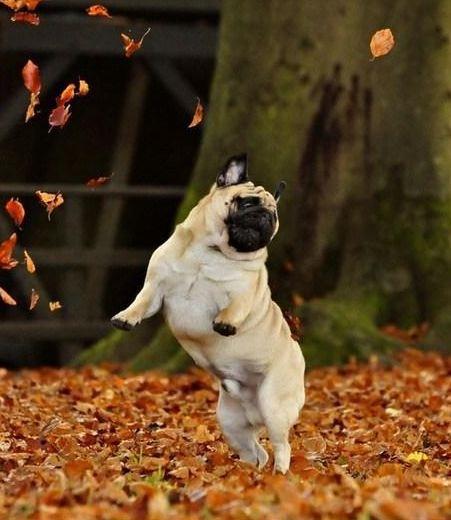 Fall Pug